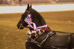 Shangria La Ranch - Friesians For Sale, Friesian Horses For Dressage